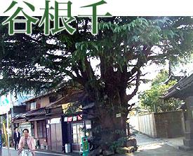 谷根千:家と寄り添うヒマラヤ杉